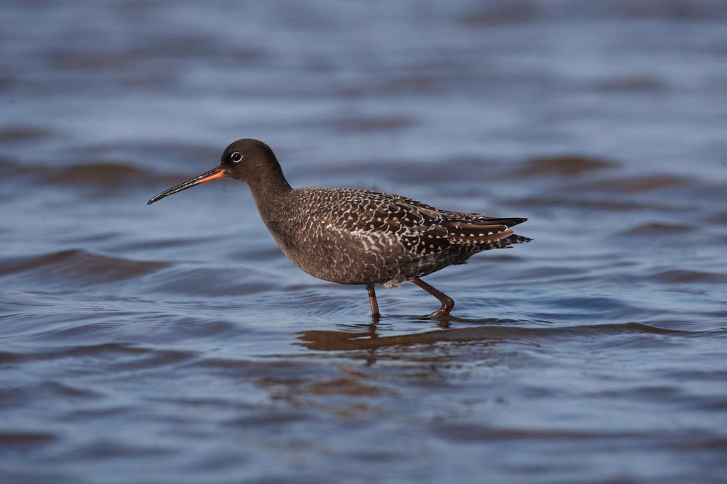 Titchwell Spotted Redshank