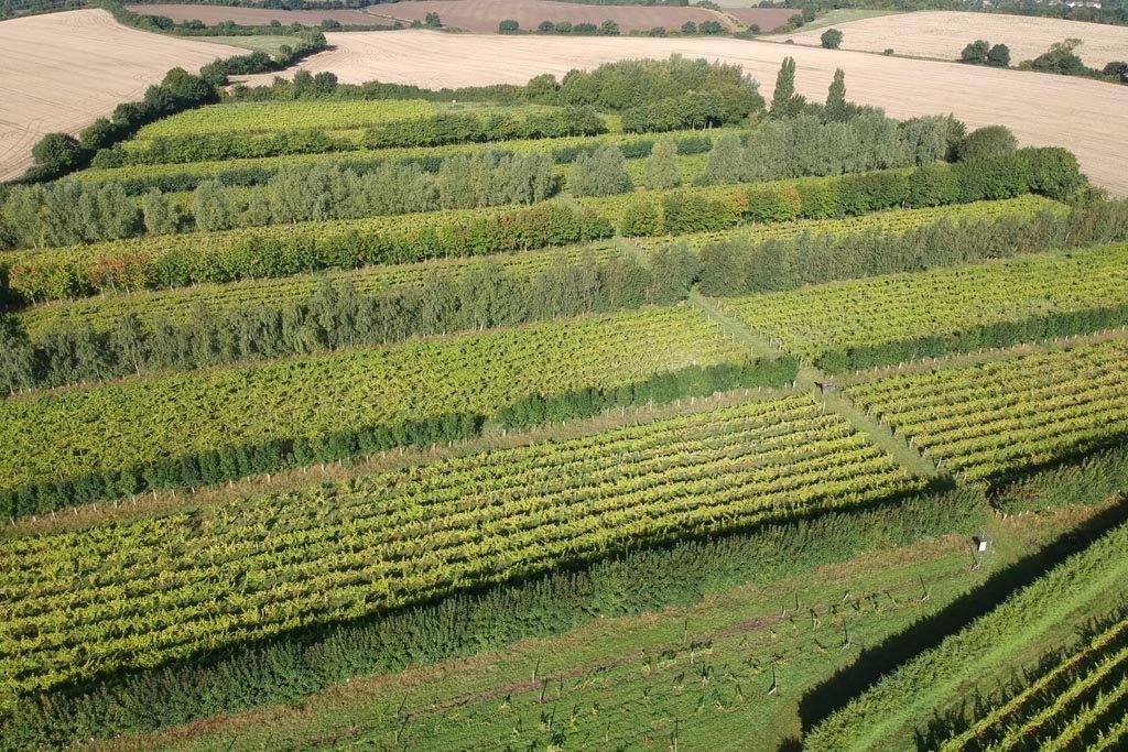 Giffords Hall vines