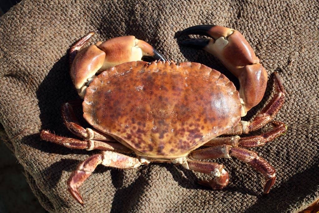 Cromer crab