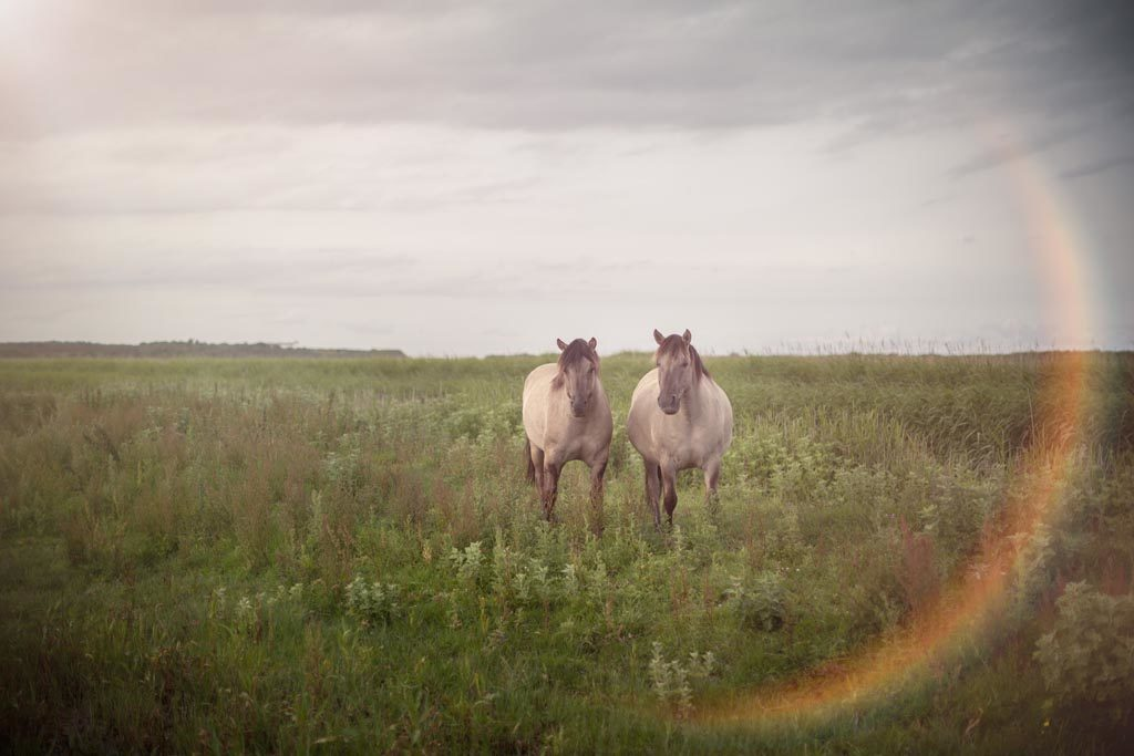 The wild Konik Horses at Minsmere RSPB Reserve, Dunwich Heath, Suffolk.