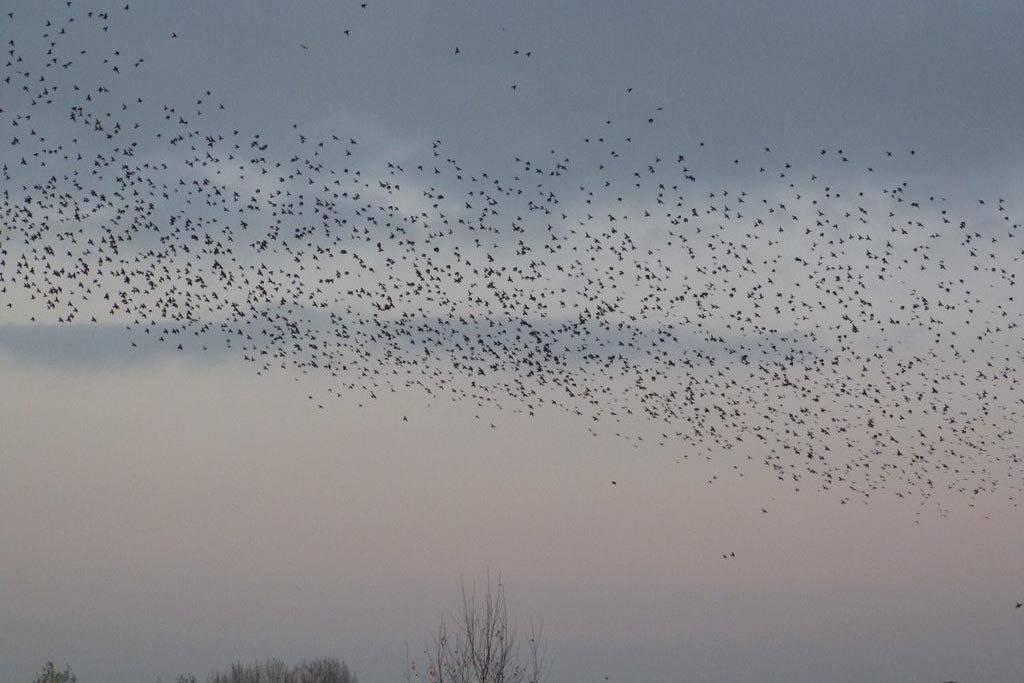Starling murmuration over Lackford Lakes