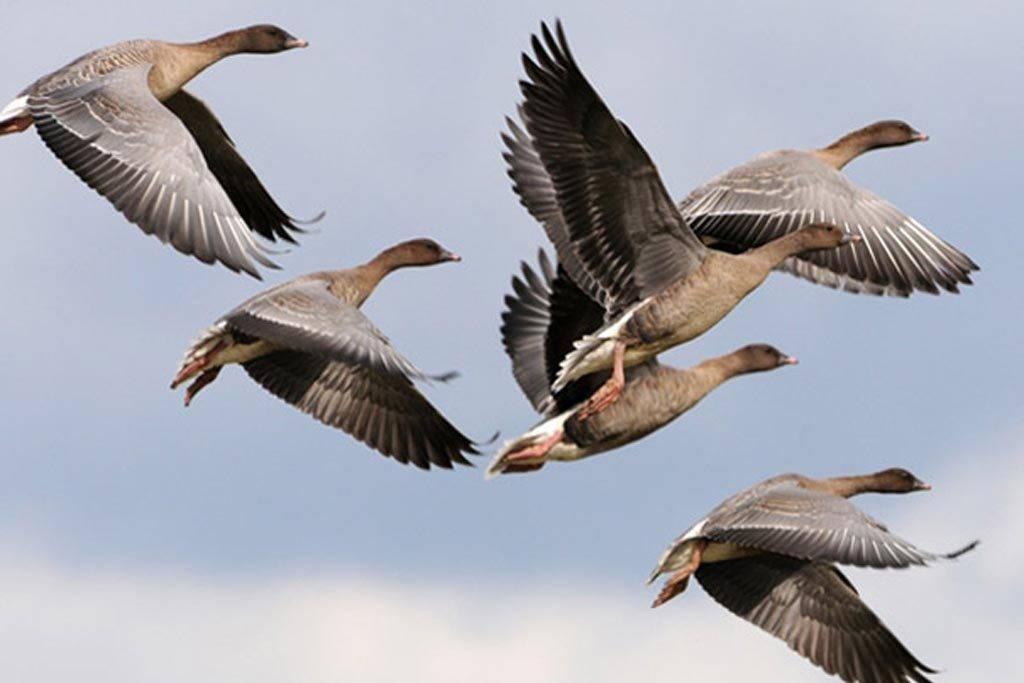 Pink footed geese Norfolk