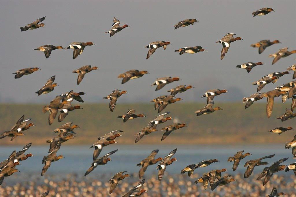 Wigeon flock WWT Welney